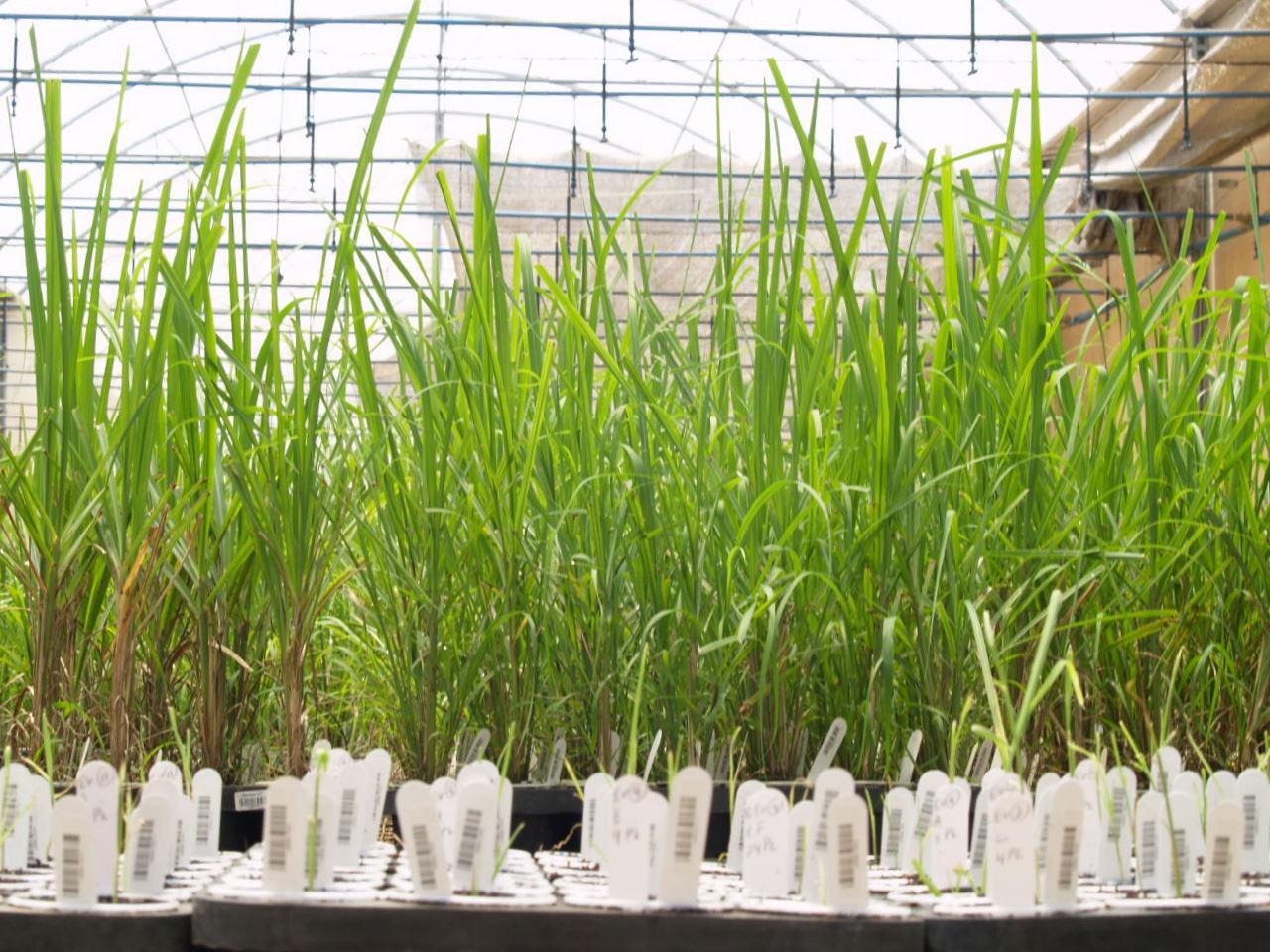 mejoramiento vegetal de caña de azucar