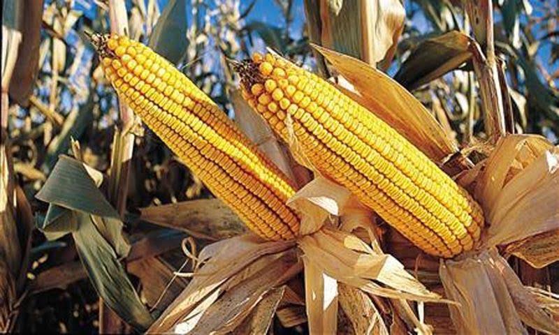 Aumentando la cantidad de granos de maíz con CRISPR