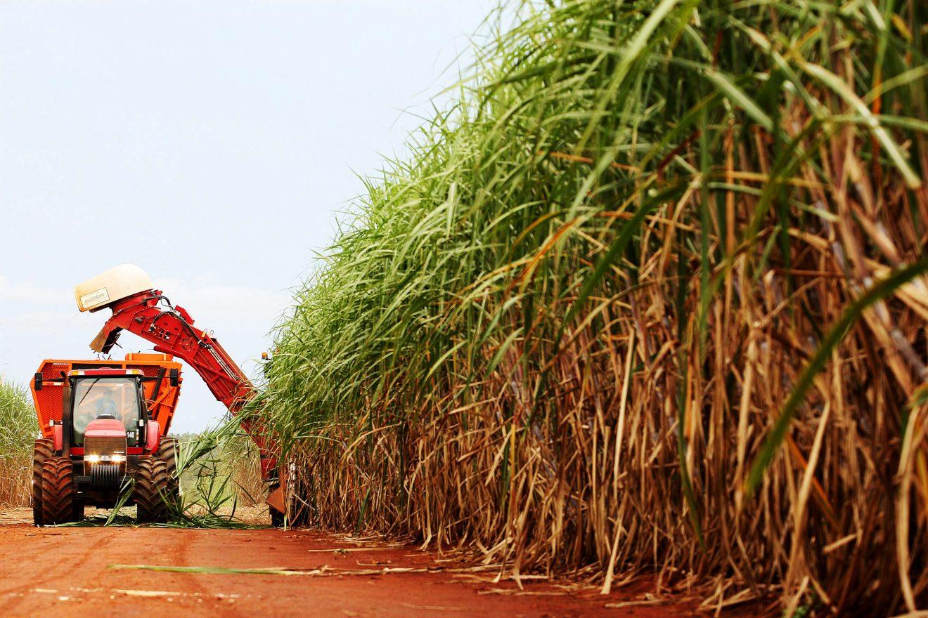 Brasil: la caña de azúcar modificada genéticamente reduce los costos y aumenta los rindes