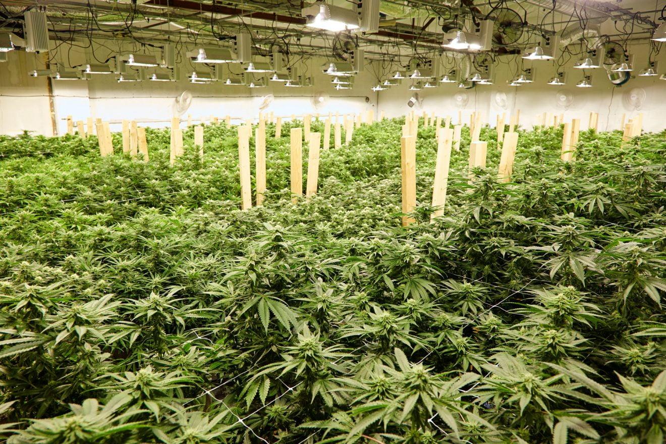 Los consumidores de cannabis se adaptan a las nuevas formas de comprar que plantea la pandemia