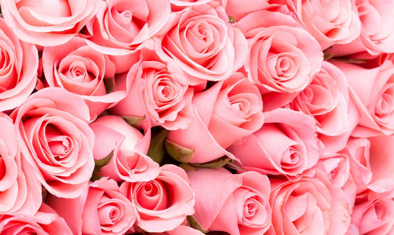 Estudian el potencial bioactivo de los pétalos de rosas