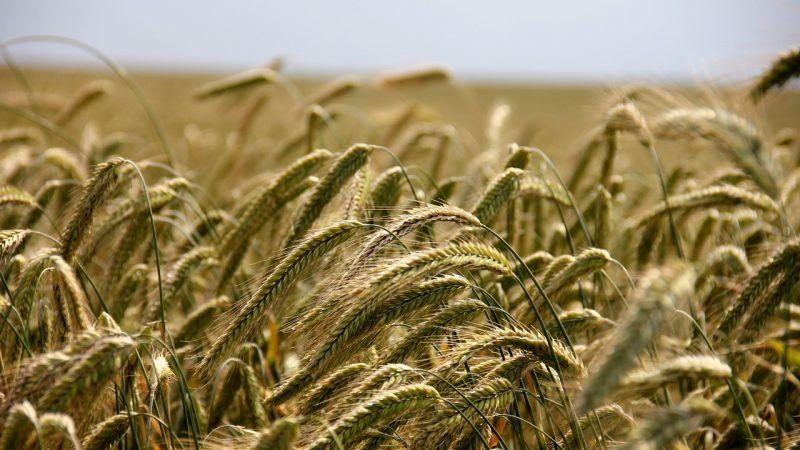 Ideltis, la apuesta de Basf para revolucionar el cultivo de trigo con semillas híbridas