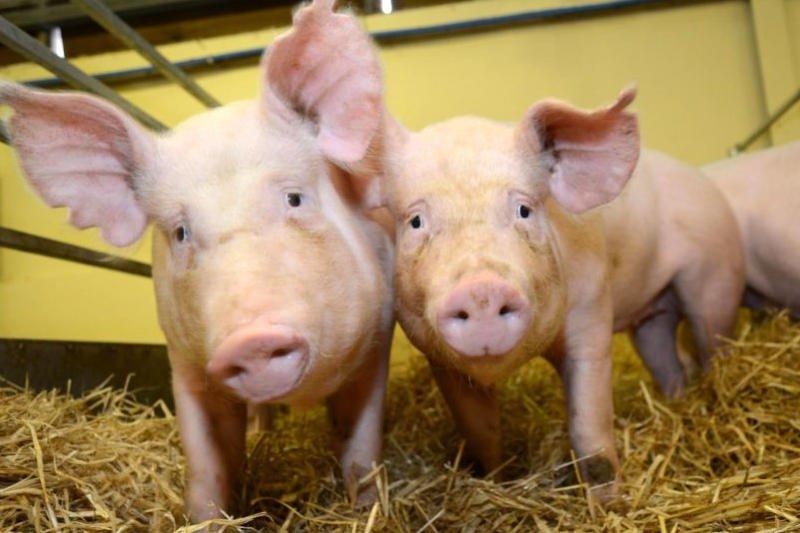 Quejas en EEUU por las regulaciones para la cría de animales genéticamente modificados