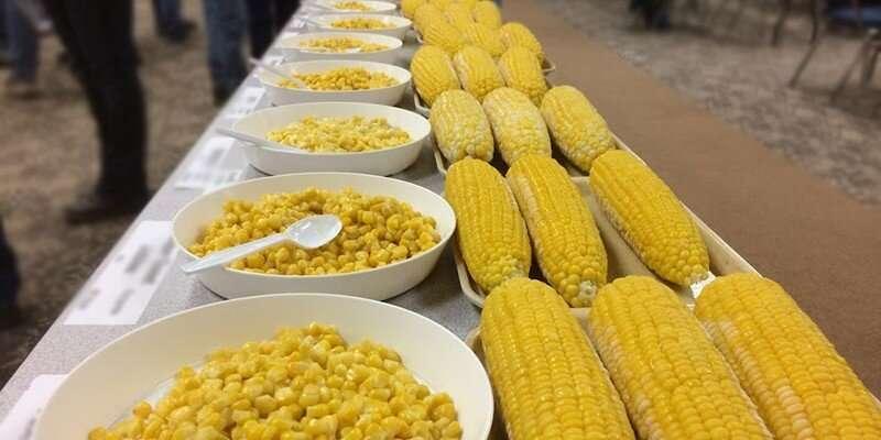 Híbridos tolerantes a la densidad de siembra podrían salvar a la alicaída industria de maíz dulce