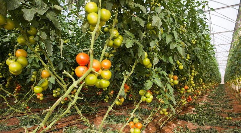 Tomates de invernadero: un oasis en el desierto