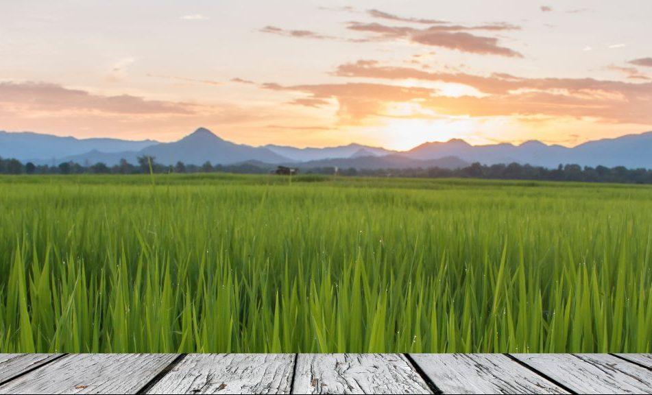 """El cultivo de arroz ingresa en la segunda """"revolución verde"""""""
