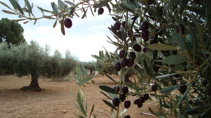 La crisis del aceite de oliva no encuentra solución