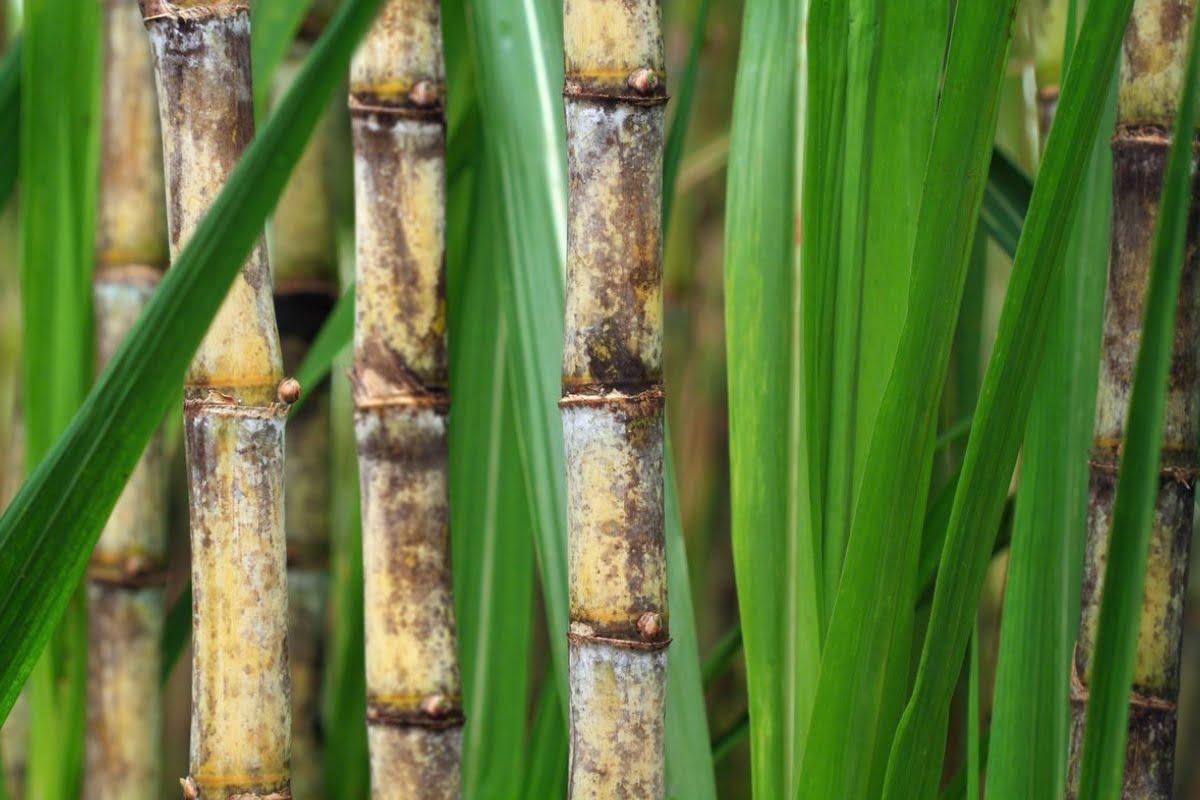 El endulzante 0 cal derivado de caña de azúcar llega a Brasil y Canadá
