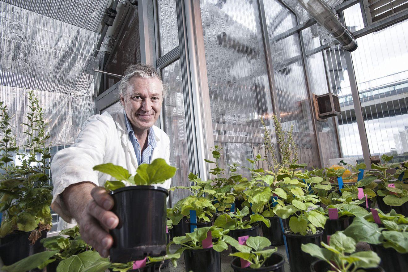 Una antigua planta australiana podría ayudar en la producción de la vacuna COVID-19