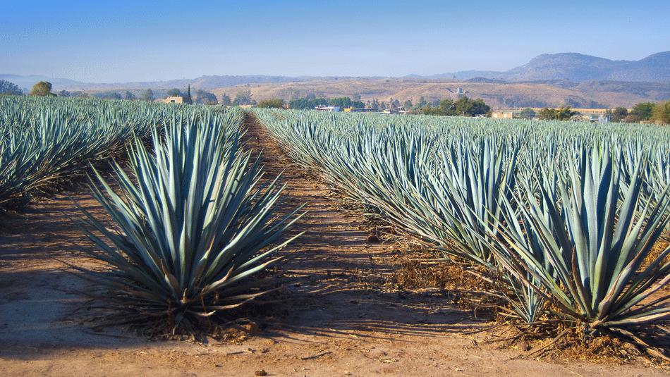Australianos aseguran que este cultivo supera al maíz y la caña de azúcar para producir bioetanol