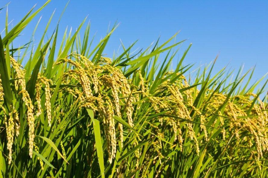 India: luz verde para convertir arroz en etanol