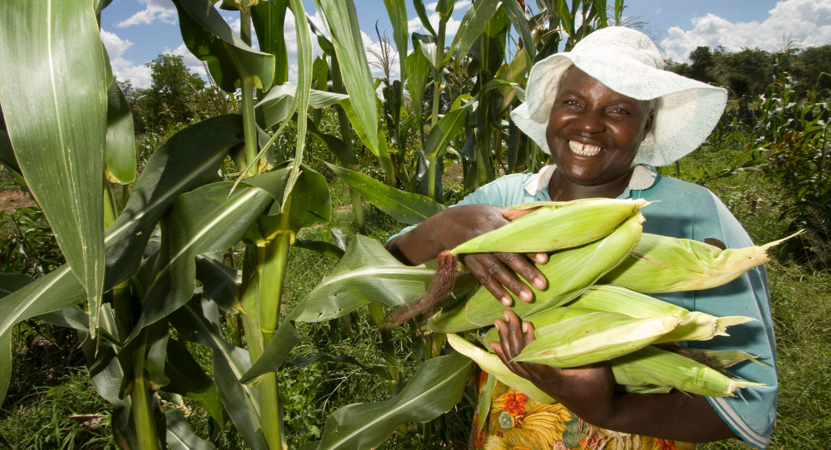 Prácticas agrícolas climáticamente inteligentes hacen viable la producción de maíz en Malawi