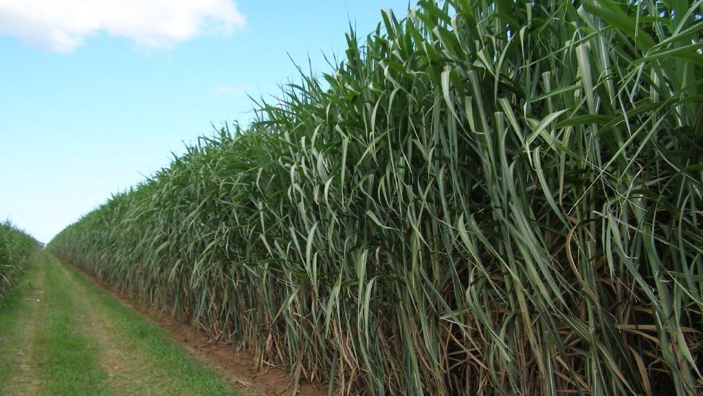 Nueva tecnología de plantación impulsa la industria australiana de caña de azúcar