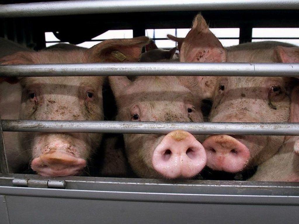 El parlamento de la U.E. pone el ojo en el transporte de animales vivos