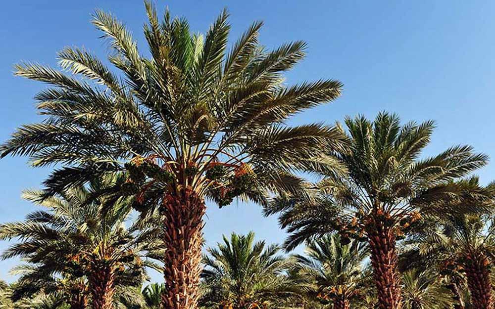 La fuerza de la fibra sustentable se potencia con la palmera datilera