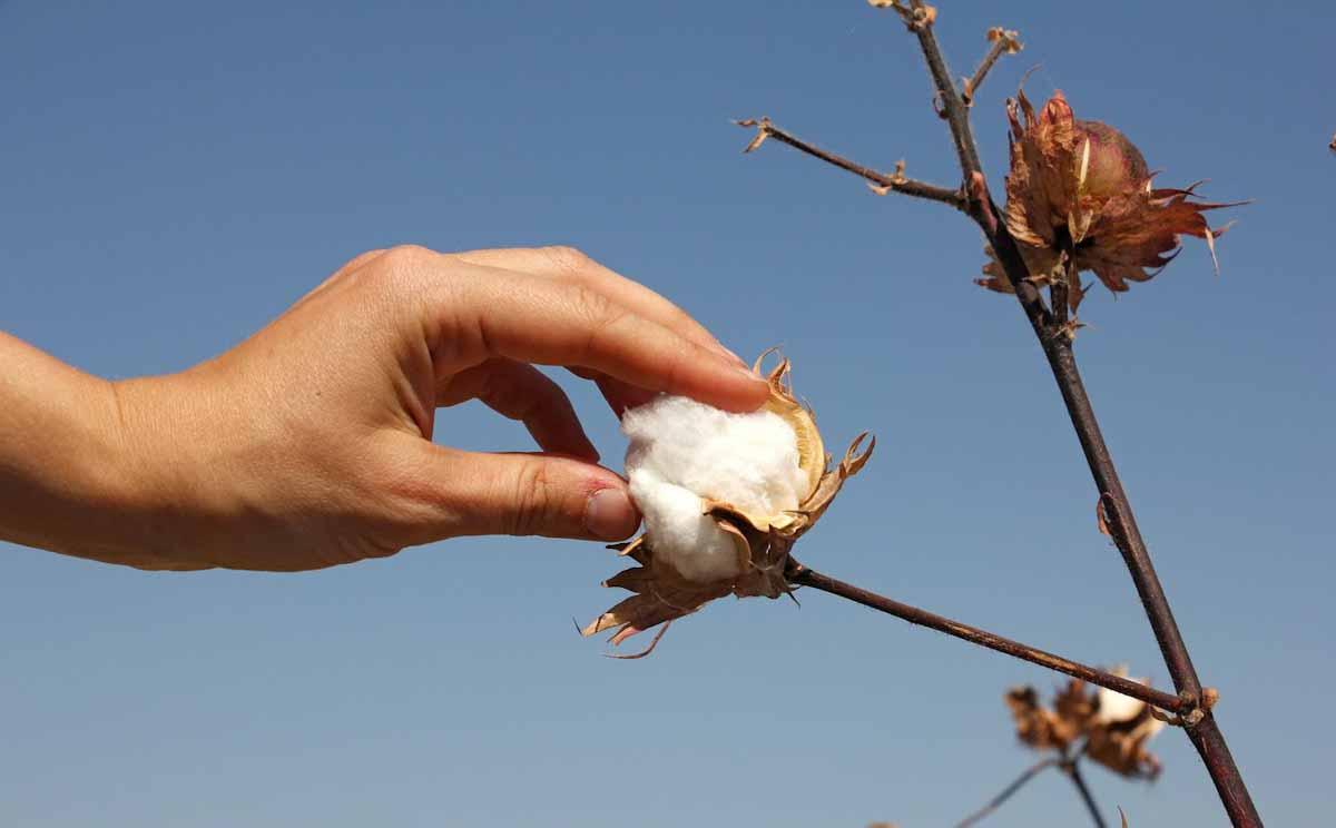 Dos empresas argentinas se unen para mejorar los rendimientos y la sostenibilidad del cultivo de algodón.
