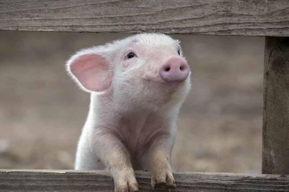 ¡Cerdos!
