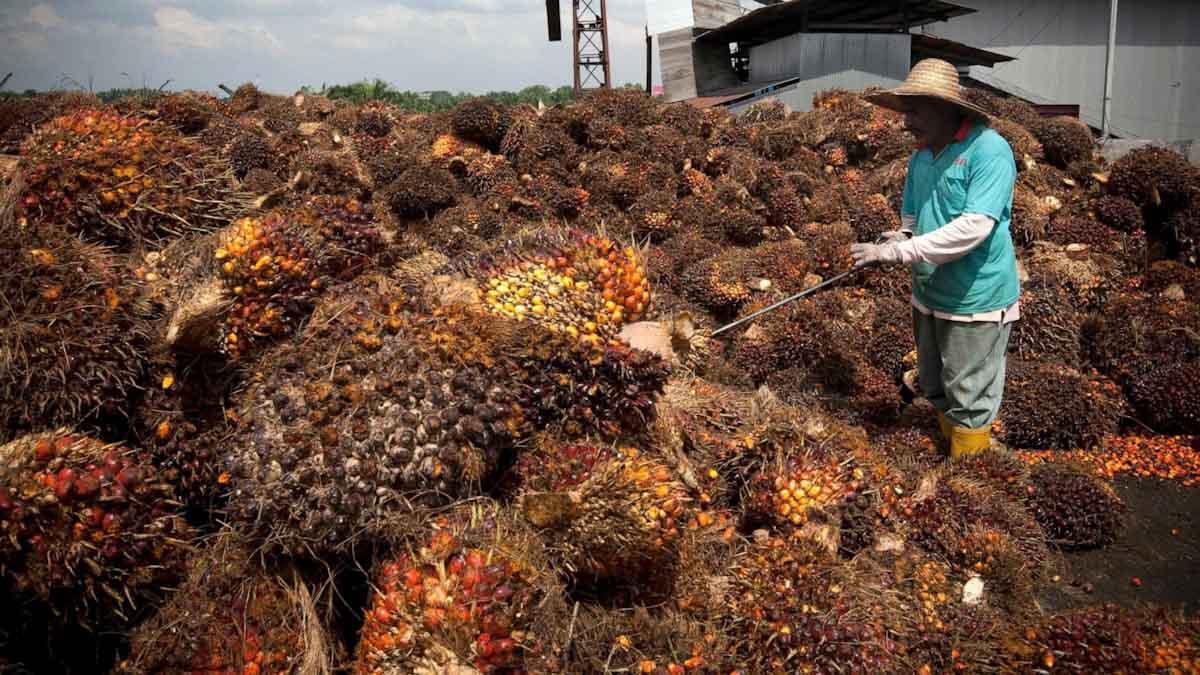 Malasia: polémica ante propuesta de liberar presos para trabajar en plantaciones de palma