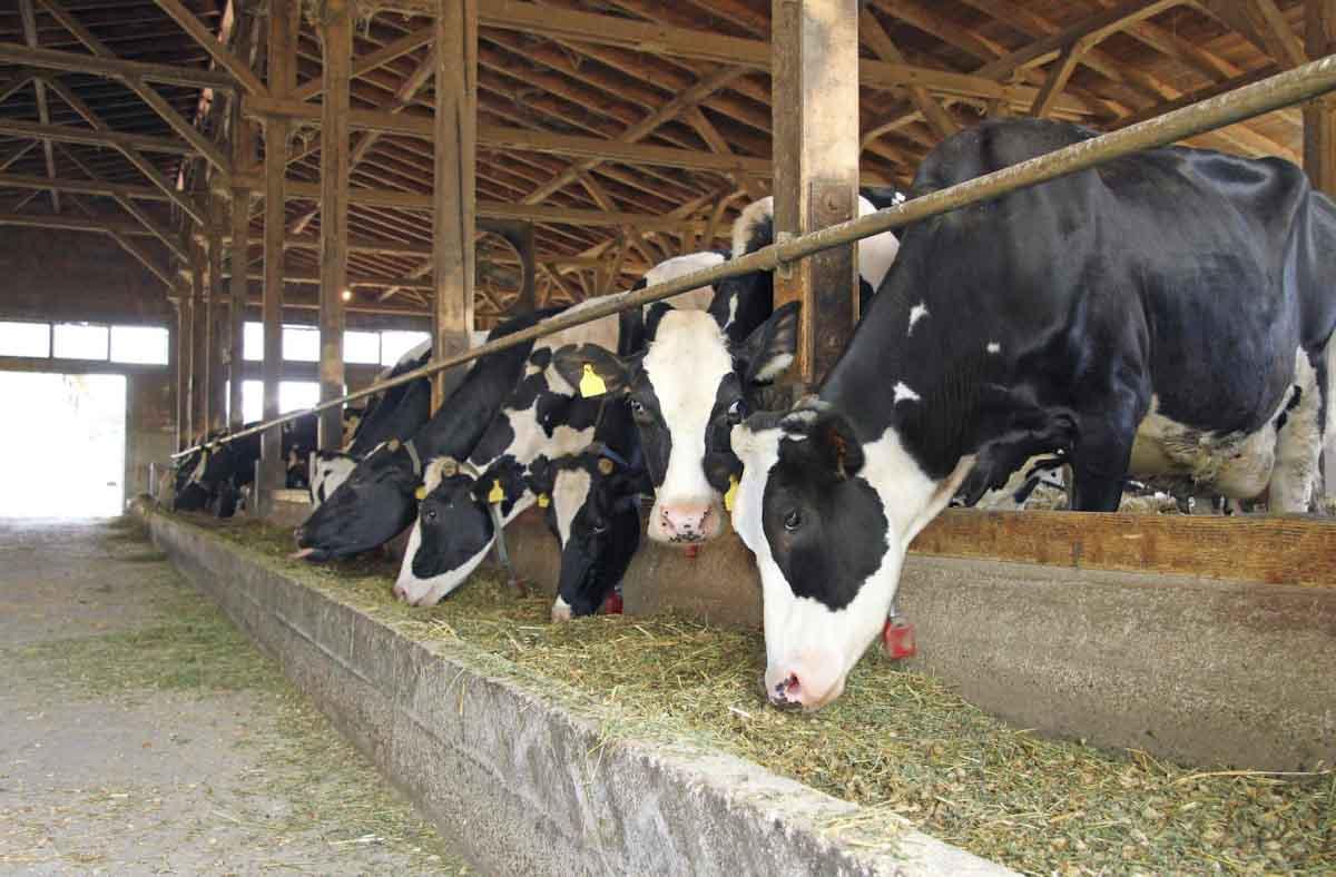 Estudio muestra que eliminar las vacas lecheras tiene impacto mínimo en el cambio climático