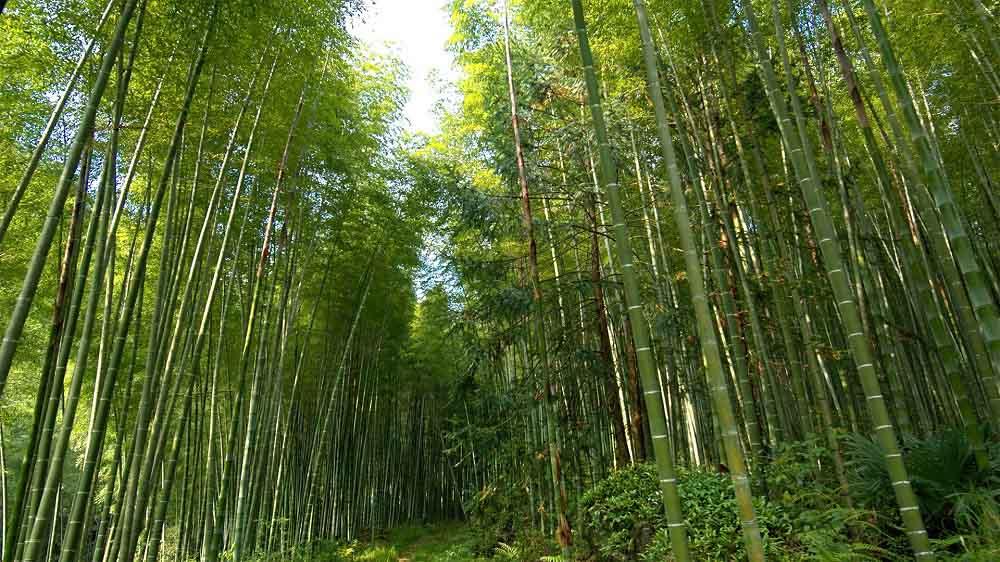 Nigeria se ilusiona con desarrollar la bioeconomía del bambú