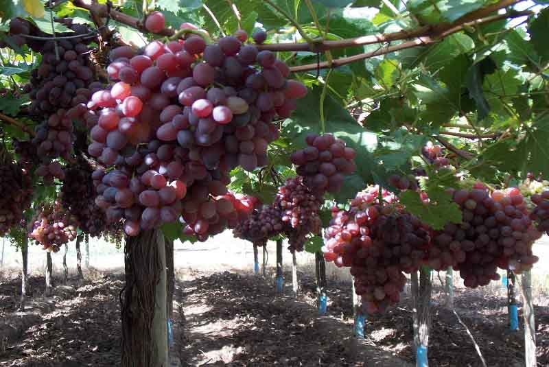 INTA desarrolla 9 variedades de uva de mesa sin semilla