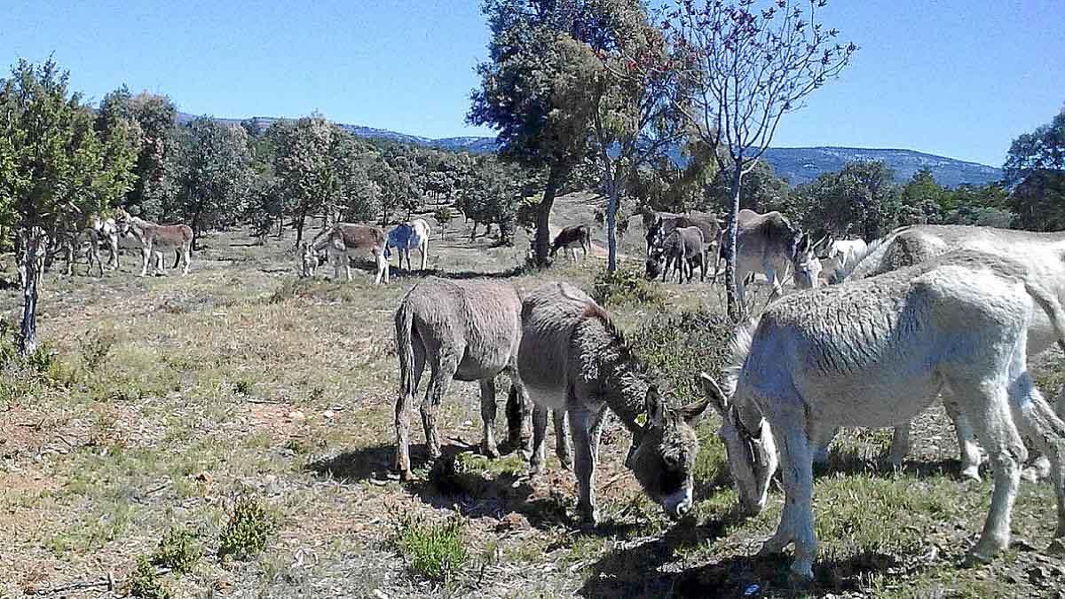 El aporte de los burros para prevenir incendios forestales y combatir el cambio climático