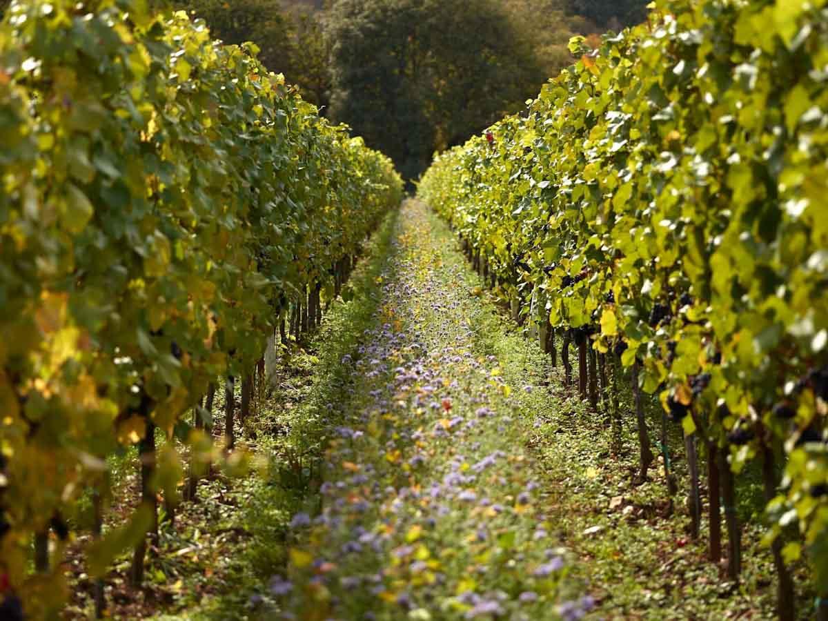 Un tipo de césped utilizado en los campos hace que los vinos sean más sustentables