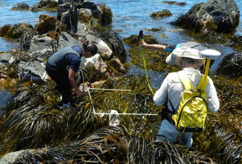 Capacitan a pescadores artesanales para producir algas pardas destinadas a la biomedicina
