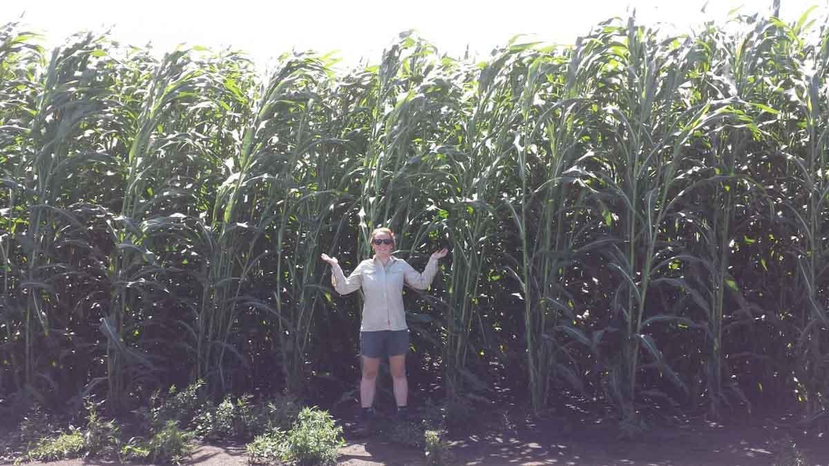 Estudio encuentra que el sorgo energético combina las virtudes de los cultivos bioenergéticos anuales y perennes