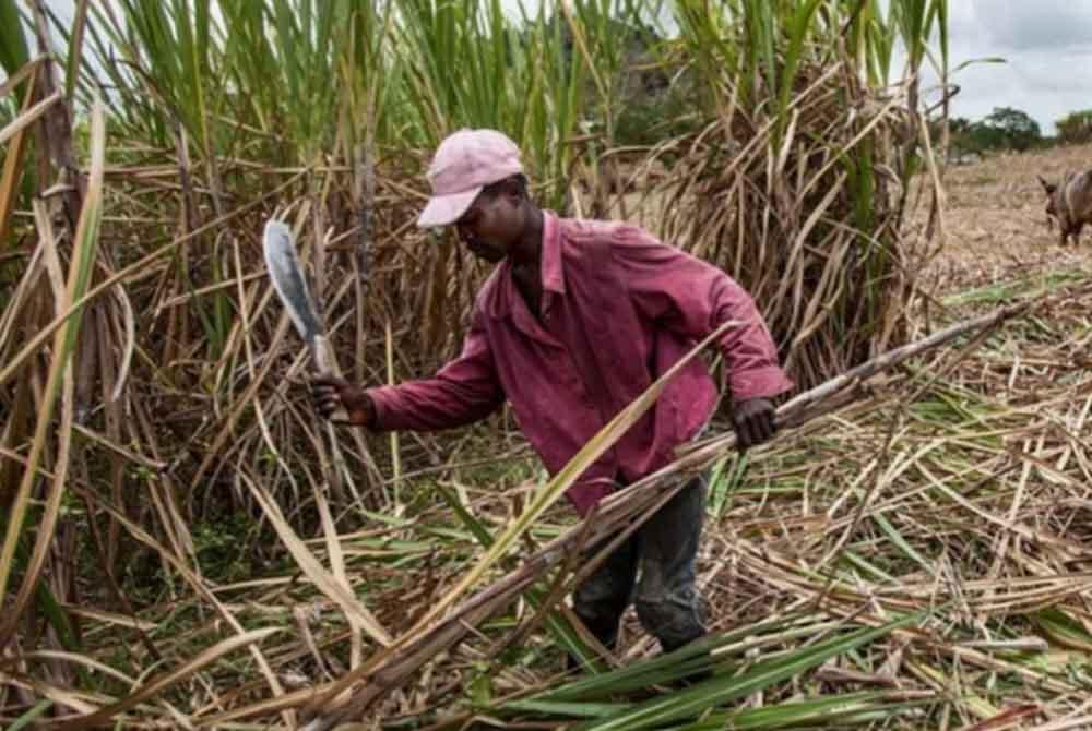 La caña de azúcar transforma la energía en esperanza para los refugiados en Kenia