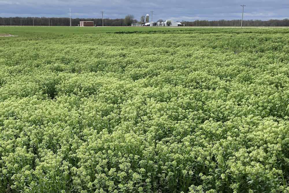 El nuevo cultivo de servicio que captó la atención de Bunge y Bayer