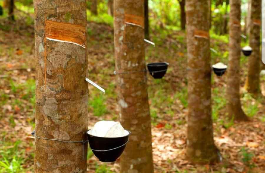 Timberland trabaja para construir un sistema de abastecimiento de goma sustentable para sus calzados