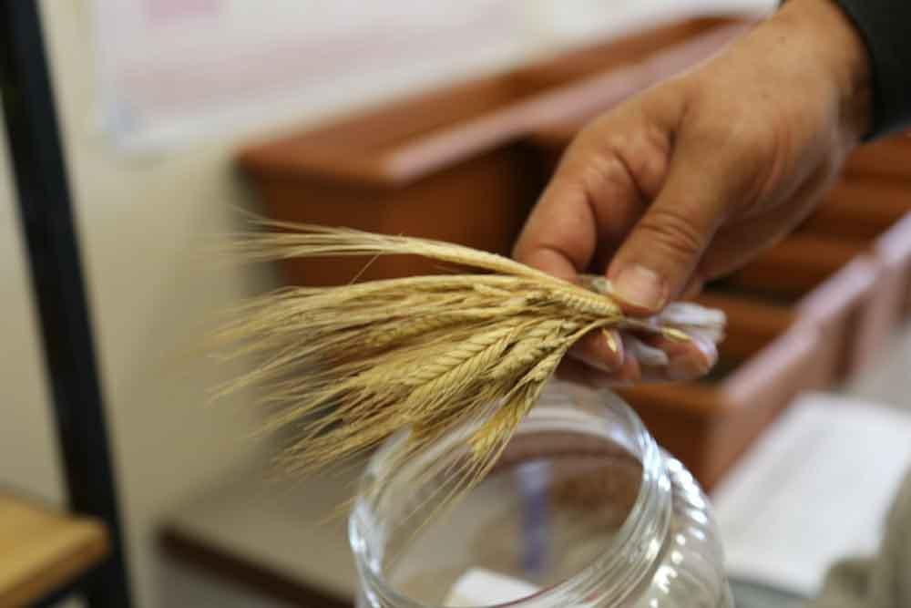 Investigadores recuperan una variedad ancestral de trigo tras su cultivo en laboratorio