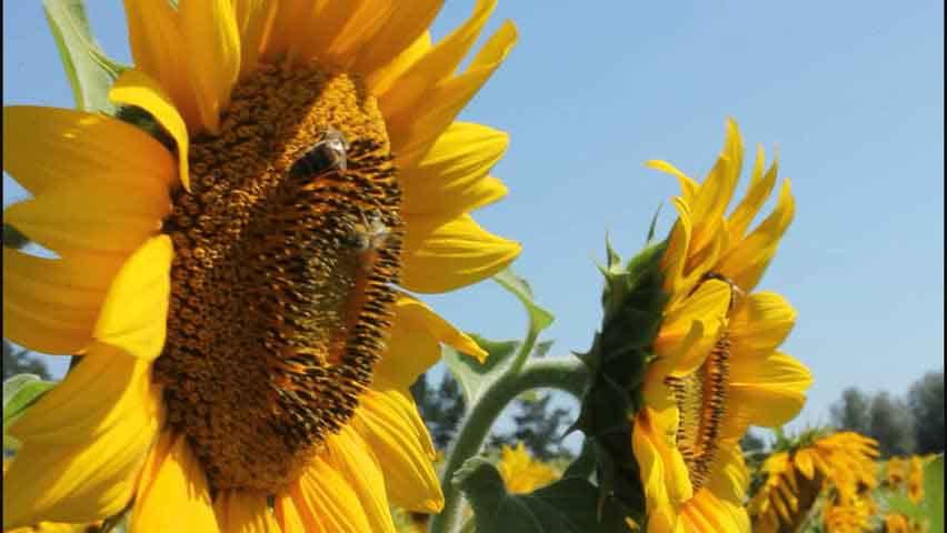 Polinización de precisión entrenando abejas como si fueran 'perros sabuesos'. Un logro de científicos argentinos