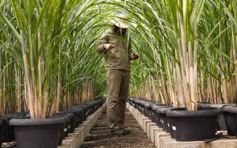 Brasil aprueba la sexta variedad de caña de azúcar modificada genéticamente