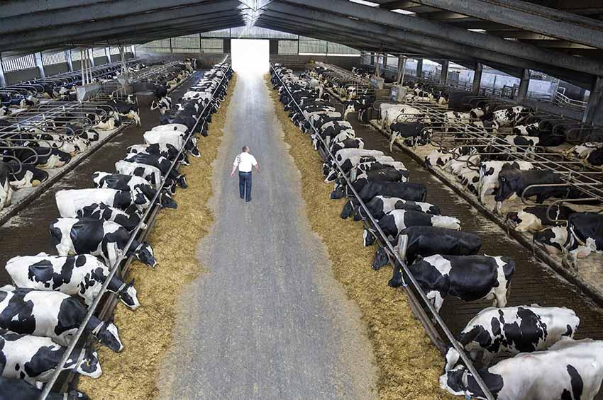 Una investigación en Brasil encontró que suplementar rodeos lecheros con aceite de soja y lino produce leche más saludable