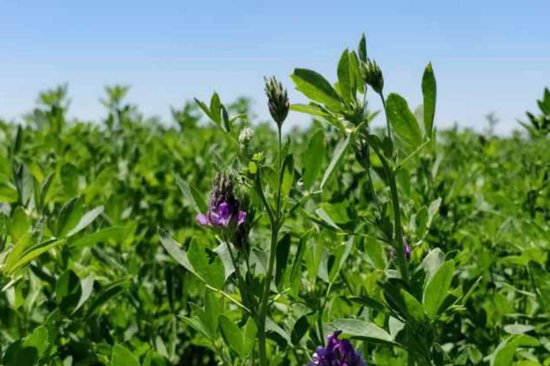 Bioceres adquiere derechos de alfalfa mejorada con tolerancia a sequía y mayor producción de biomasa