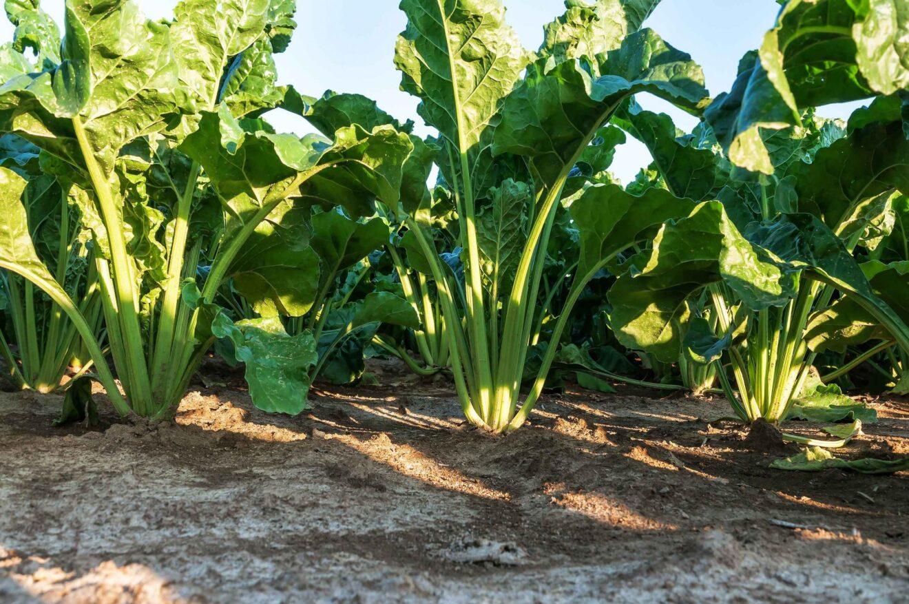 Escocia: la economía verde recupera el cultivo de remolacha azucarera luego de 50 años