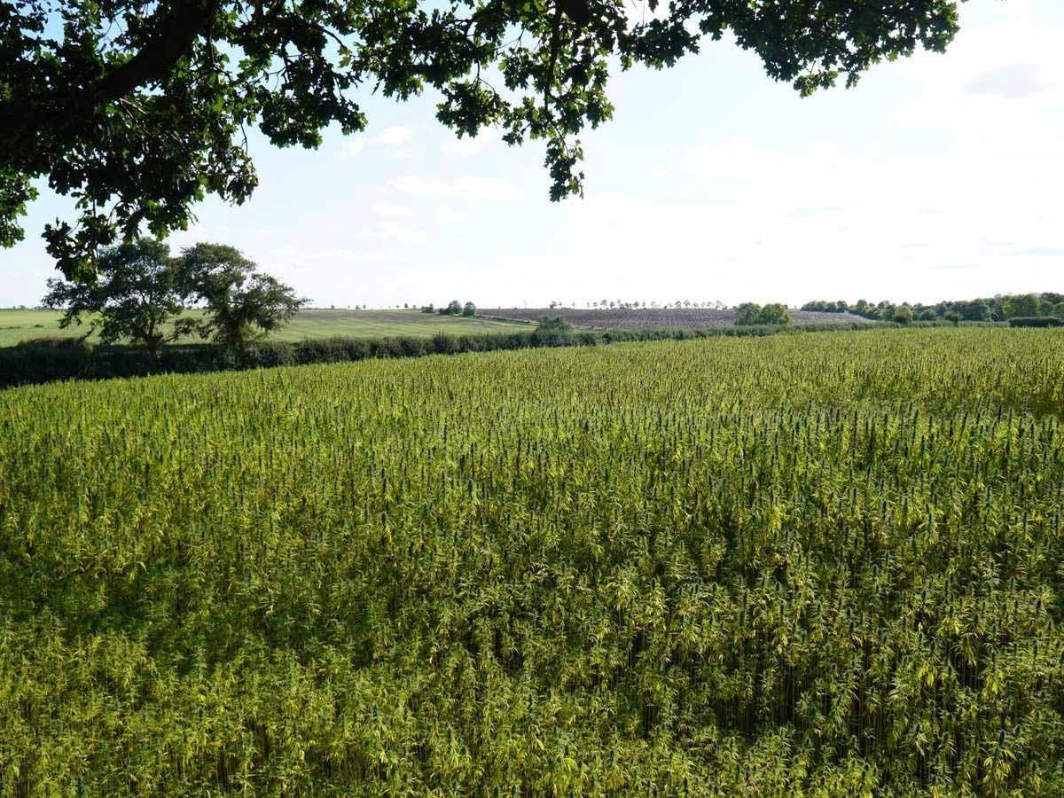Margent-Farm-canamo-reino-unido