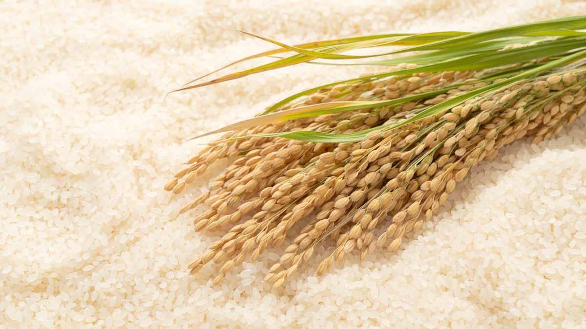 Científicos insertaron una proteína animal en arroz y papa y duplicaron los rendimientos de cosecha