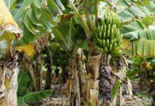 Una startup australiana produce packaging para alimentos con residuos de la industria de la banana